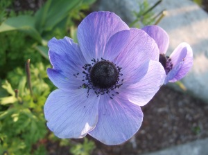 Purple Poppy1